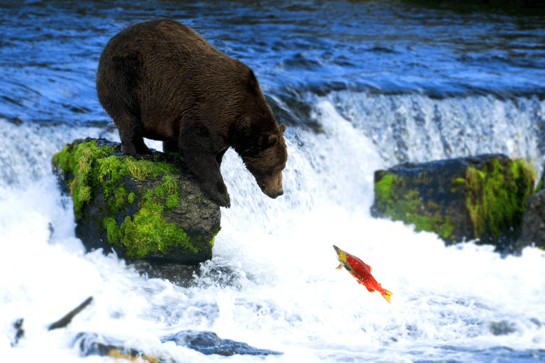 A salmon swimming upstream encounters a bear